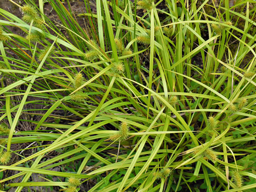 image of Carex lurida, Sallow Sedge