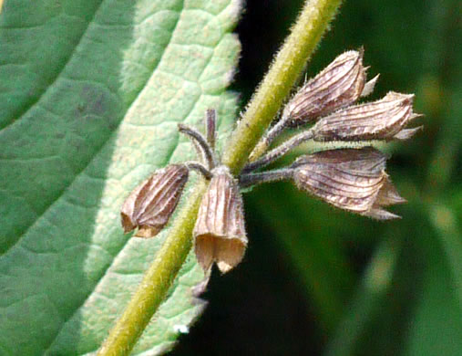 image of Salvia urticifolia, Nettleleaf Sage