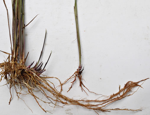 culm: Sorghastrum nutans, Yellow Indiangrass, Prairie Indiangrass