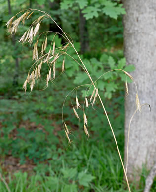 flower of Bromus catharticus var. catharticus, Rescue Grass