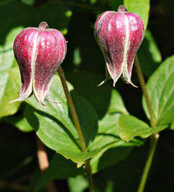 image of Clematis viorna