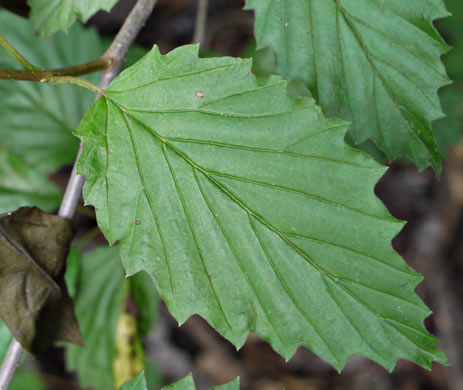 image of Viburnum recognitum, Smooth Arrowwood, Southern Arrowwood