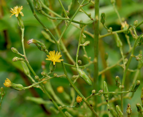 image of Lactuca canadensis, American Wild Lettuce