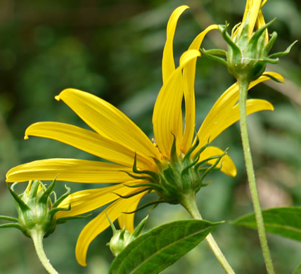 Helianthus decapetalus, Thin-leaved Sunflower, Forest Sunflower
