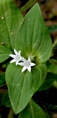 image of Richardia brasiliensis, Brazilian-clover, tropical Mexican-clover