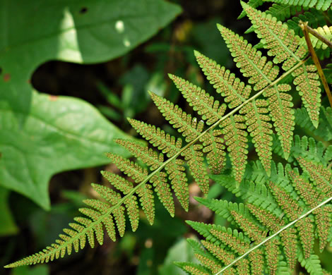 image of Macrothelypteris torresiana, Mariana Maiden Fern, Swordfern, False Maiden Fern