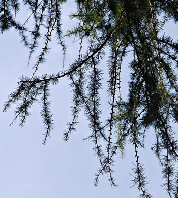 image of Larix decidua, European Larch