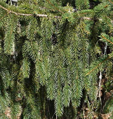 image of Picea abies