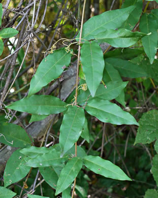 pinnately compound leaves of vines: Bignonia capreolata, Bignonia capreolata, Anisostichus capreolata