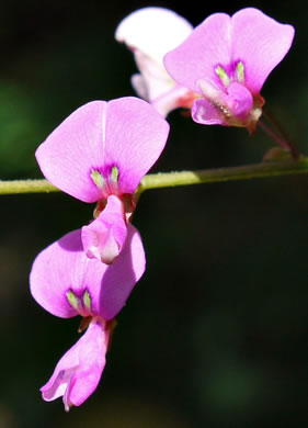 image of Desmodium laevigatum, Smooth Tick-trefoil