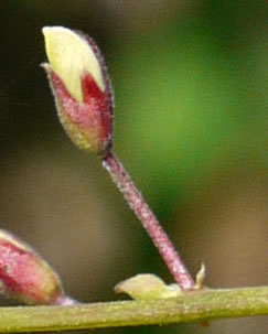 dentate: Desmodium laevigatum, Smooth Tick-trefoil