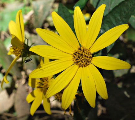 image of Helianthus decapetalus, Thin-leaved Sunflower, Forest Sunflower
