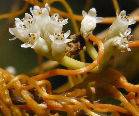 flower of Cuscuta gronovii, Common Dodder