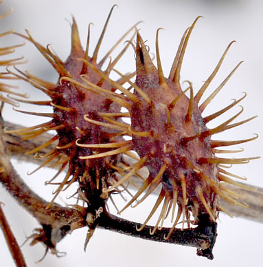 image of Xanthium strumarium, Cocklebur