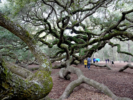 image of Quercus virginiana, Live Oak