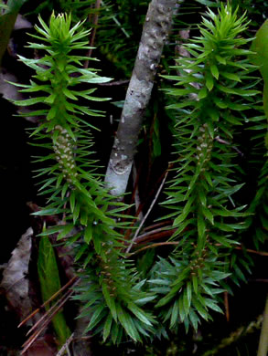 image of Huperzia lucidula, Shining Clubmoss, Shining Firmoss