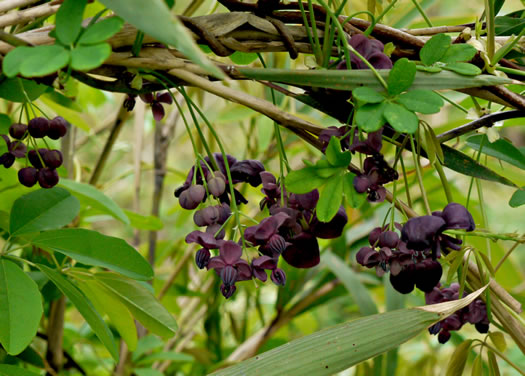 image of Akebia quinata, Five-leaf Akebia, Chocolate-vine