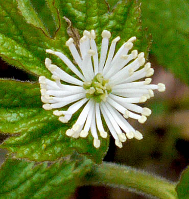 flower of Hydrastis canadensis, Goldenseal