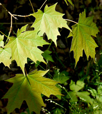 image of Acer saccharum var. saccharum, Sugar Maple, Hard Maple, Sugar-tree