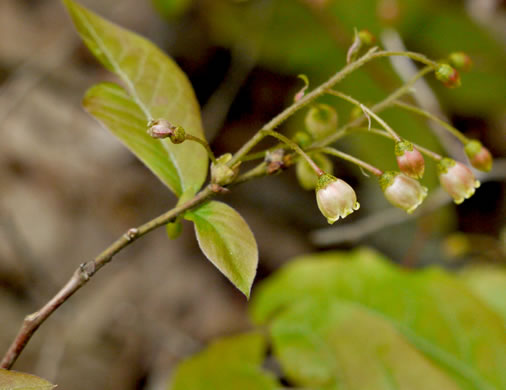 flower of Gaylussacia ursina, Bear Huckleberry, Mountain Huckleberry, Buckberry