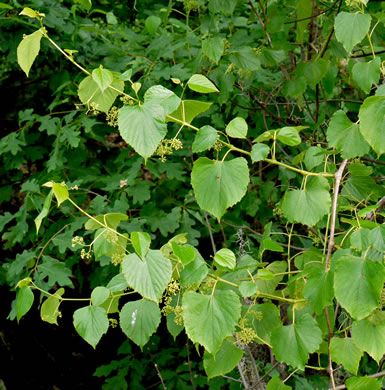 image of Ampelopsis cordata, American Ampelopsis, Raccoon-grape, False-grape