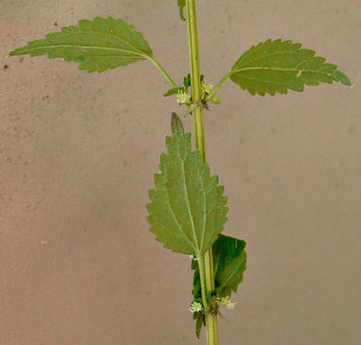 cuneate: Urtica chamaedryoides, Urtica chamaedryoides, Urtica chamaedryoides