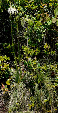 picture of Xerophyllum asphodeloides, image of Xerophyllum asphodeloides