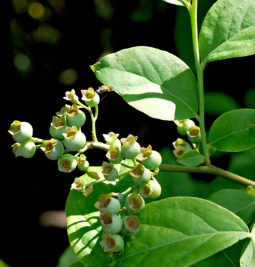 image of Vaccinium corymbosum, Smooth Highbush Blueberry