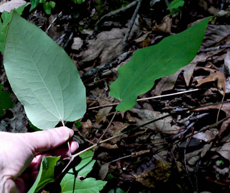 glabrous: Smilax biltmoreana, Biltmore Carrionflower