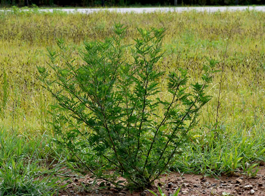image of Ambrosia artemisiifolia, Annual Ragweed, Common Ragweed