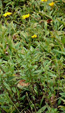 image of Coreopsis pubescens +