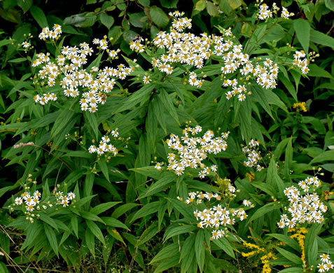 rhizome: Doellingeria umbellata, Tall Flat-topped White Aster, Tall Whitetop Aster