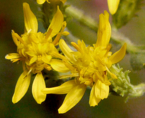 image of Solidago petiolaris var. petiolaris, downy ragged goldenrod