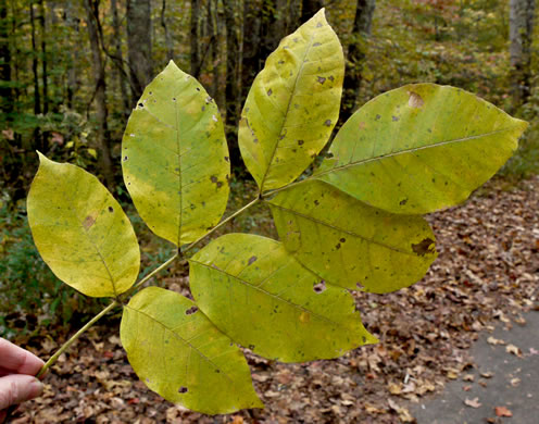 pinnately compound leaves of trees: Fraxinus biltmoreana, Fraxinus americana, Fraxinus americana var. biltmoreana