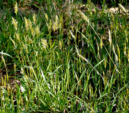 image of Anthoxanthum odoratum, Sweet Vernal Grass