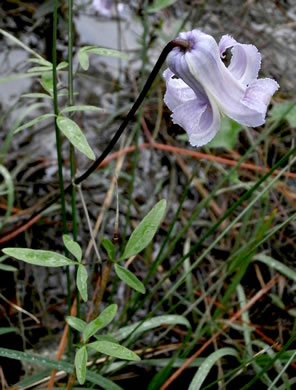 image of Clematis crispa, Southern Leatherflower, Marsh Clematis, Swamp Leatherflower, Blue Jasmine