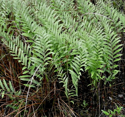 rhizome: Anchistea virginica, Virginia Chain Fern