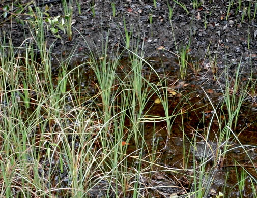 rhizome: Carex striata var. striata, Walter's Sedge, Pocosin Sedge