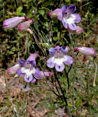 flower of Penstemon dissectus, Georgia Beardtongue, Grit Beardtongue