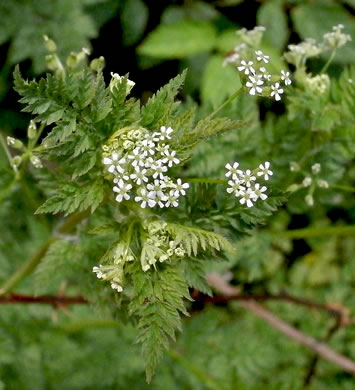 flower of Anthriscus caucalis, Bur Chervil, Bur-parsley