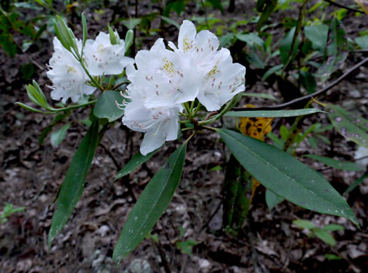 image of Rhododendron carolinianum