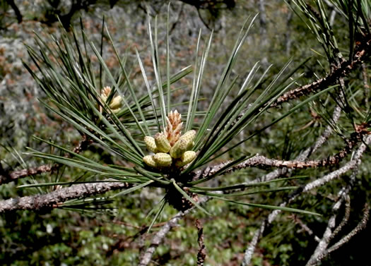 flower of Pinus rigida, Pitch Pine