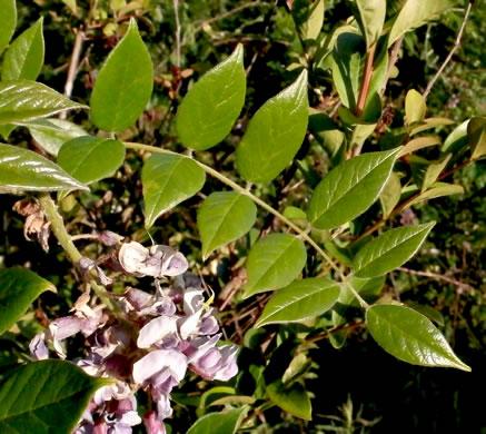 Namethatplant Net Leaves Of Peppervine Trumpet Creeper And Wisteria