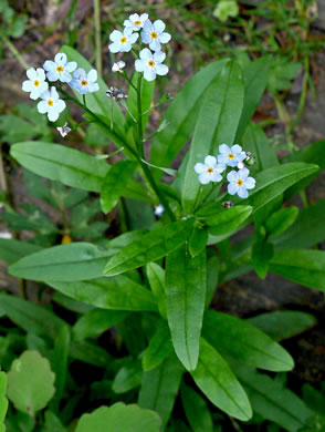 image of Myosotis laxa ssp. laxa, Smaller Forget-me-not, Marsh Forget-me-not, Tufted Forget-me-not