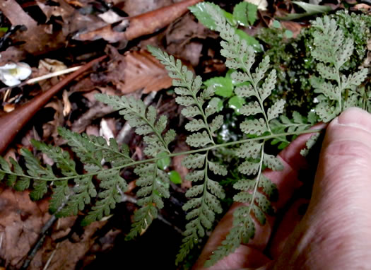 image of Cystopteris tenuis, Mackay's Bladder Fern, Mackay's Fragile Fern