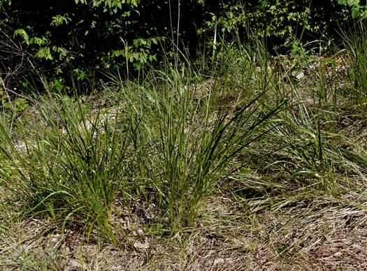 image of Tripsacum dactyloides var. dactyloides, Gama Grass, Eastern Gamagrass