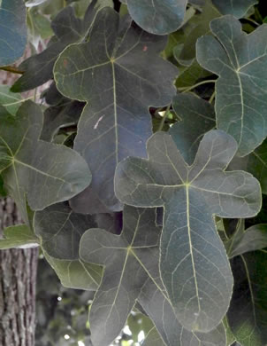 image of Ficus carica, Edible Fig, Garden Fig