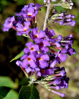 flower of Buddleja davidii, Orange-eye Butterflybush, Summer-lilac