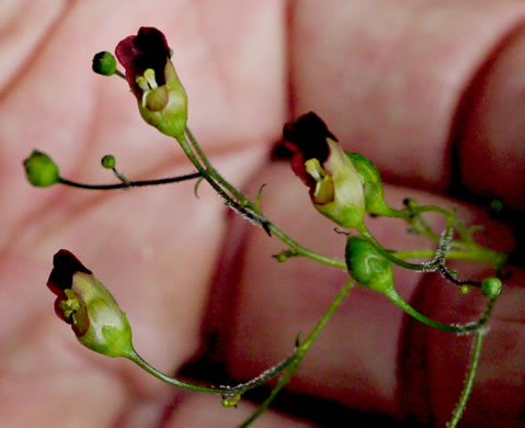 flower of Scrophularia marilandica, Eastern Figwort, Carpenter's Square, Late Figwort