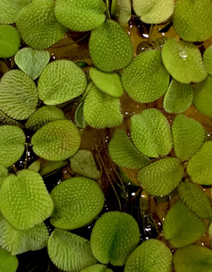 image of Salvinia minima, Water Spangles, Floating Fern